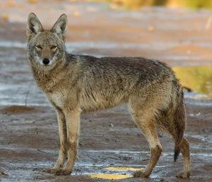 Coyote 0008